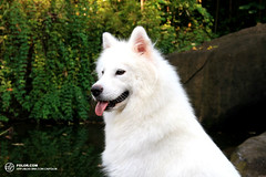 dog breed, animal, dog, japanese spitz, norwegian buhund, white shepherd, canadian eskimo dog, east siberian laika, berger blanc suisse, kishu, wolfdog, carnivoran, american eskimo dog, samoyed,