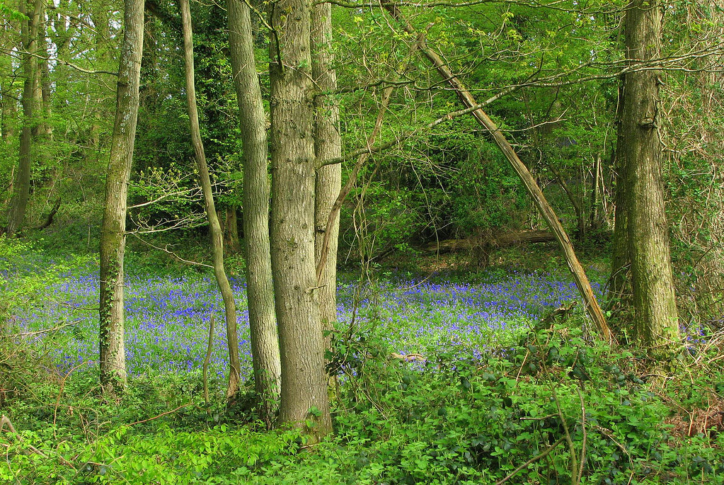 Patch of blue Bluebell carpet in woods near Balcombe, West Sussex, England