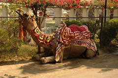 First camel we saw in India