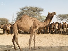 National Research Centre on Camels