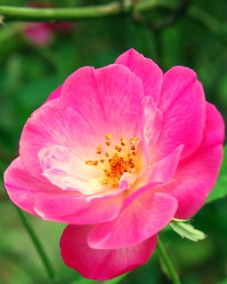 Pink Antique Rose | by Media Pete