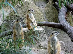 animal, zoo, mammal, fauna, meerkat, wildlife,