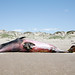 Minke Whale (Lesser Rorqual) observed dead 17 April 2006 on Morro Bay Sandspit