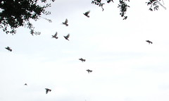 animal migration, animal, wing, flock, bird migration, bird,