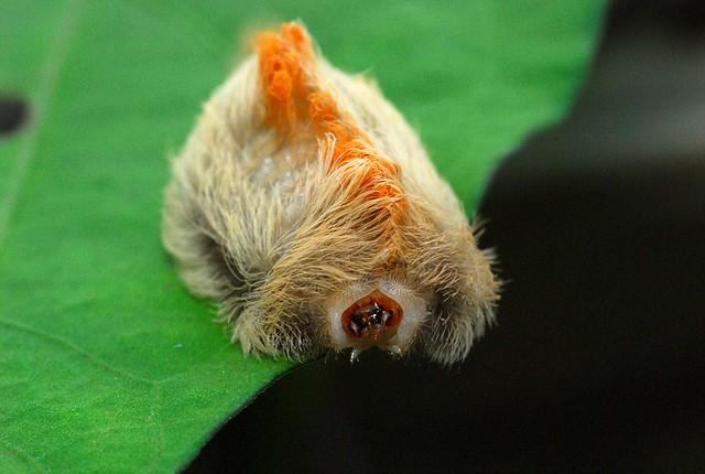 Southern Flannel Moth - Megalopyge opercularis - Taken 9-11-2008