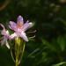 Little purple Rhododendron ponticum / Kleine purperen Rhododendron ponticum