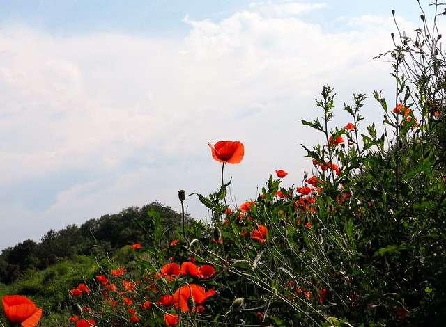 poppies in the wind - photo #5