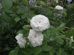 floribunda(0.0), rosa multiflora(0.0), rosa pimpinellifolia(0.0), rosa rugosa(0.0), rosa wichuraiana(1.0), shrub(1.0), garden roses(1.0), rosa 㗠centifolia(1.0), flower(1.0), rosa gallica(1.0), plant(1.0), flora(1.0),