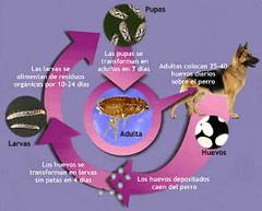 ciclo de las pulgas