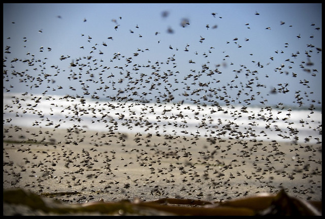 A Swarm of Flies | When I walked toward a pile of seaweed ...