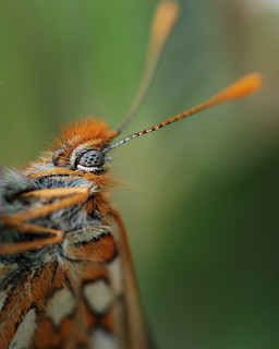 Marsh Fritillary, Chambers Wood