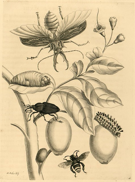 engravings of fruit and flying insects