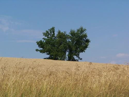 sky tree field illinois midwest farm wheat stlouis