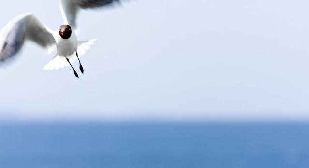 Charrán ártico en las islas de Farne. Northumberland, Inglaterra