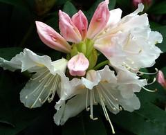 Ericaceae.