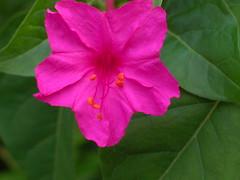 shrub(0.0), ipomoea alba(0.0), plant(0.0), chinese hibiscus(0.0), annual plant(1.0), flower(1.0), leaf(1.0), four o'clock flower(1.0), flora(1.0), four o'clocks(1.0), petal(1.0),