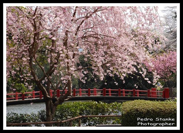 Sakura, Kameyama Parque - Japao