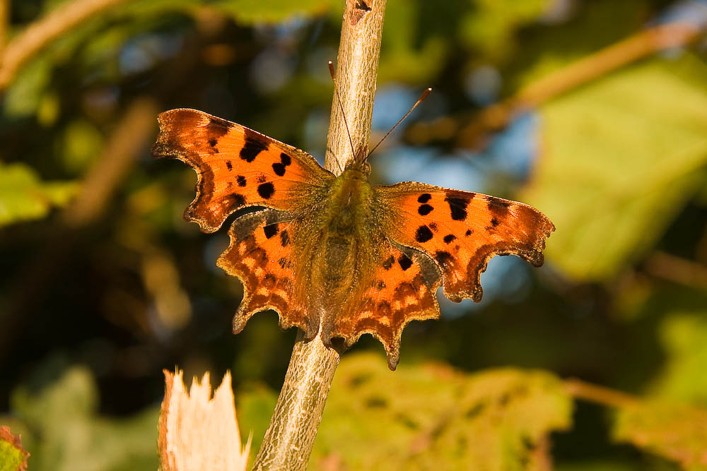 This butterfly is called a Comma Polygonia c-album / Family Nymphalidae Description Eggs are laid singly on the uppermost leaves and the caterpillars usually hatch after about 15 days. The favored foodplant in the past was Hops but a decline in village breweries has caused a move towards nettle (usually growing in shaded positions) as the favored foodplant although Elm is often used as well. The larvae of the Comma are particularly attractive at close quarters although from a distance resemble a bird dropping. Pupation almost always takes place on the foodplant. Butterflies of the summer brood appearing around May/June are deep orange and are known as form hutchinsoni. Later broods and those overwintering as Adults are more usually deeper brown above while their underwing is either a beautiful mix of blues, greys and browns or the more usual orange/brown. Adult wingspan: 50-64mm Habitat The Comma is presently a relatively common butterfly but up until the 1940's the Comma was only regularly seen on the Welsh borders. Source: www.britishbutterflies.co.uk www.britishbutterflies.co.uk
