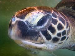 animal, turtle, reptile, loggerhead, organism, marine biology, fauna, close-up, sea turtle, tortoise,