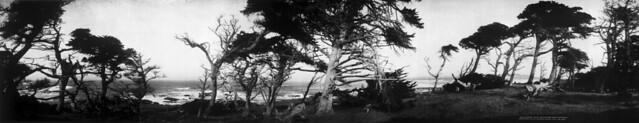 Old cypress trees on Cypress Point, Monterey, California, ca. 1907