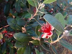 shrub(0.0), strawberry tree(0.0), produce(0.0), fruit(0.0), food(0.0), evergreen(1.0), flower(1.0), leaf(1.0), tree(1.0), plant(1.0), flora(1.0), aquifoliaceae(1.0), aquifoliales(1.0),