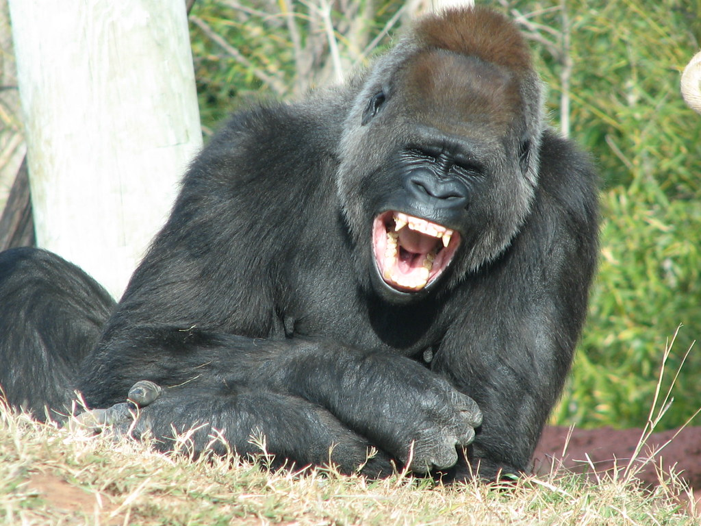 Cliffie's Notes: THE LAUGHING GORILLA - photo#32