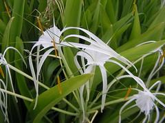 grass(0.0), wheel(0.0), galanthus nivalis(0.0), hymenocallis(1.0), flower(1.0), leaf(1.0), hymenocallis littoralis(1.0), plant(1.0), wildflower(1.0), flora(1.0), green(1.0),