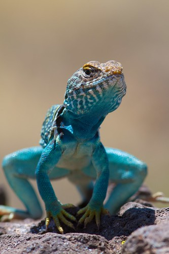 Fri, 06/05/2011 - 15:26 - Another shot of this lizard- loved the bright color!
