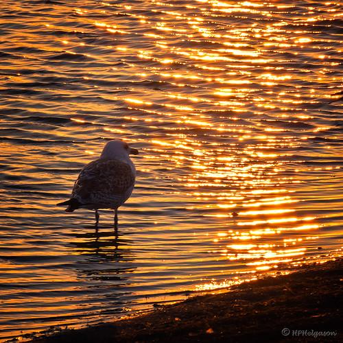 sunrise sólris sólarupprás seagull mávur ripples gárur glow glampi reflection speglun sonyslta55 hphson iceland