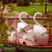 Boston Public Gardens - Swan Boats