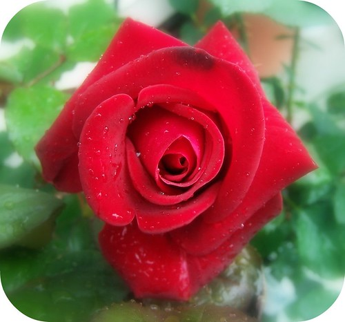 Veteran's Honor rose