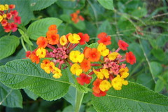 tropical milkweed(0.0), shrub(0.0), annual plant(1.0), flower(1.0), plant(1.0), herb(1.0), wildflower(1.0), flora(1.0), lantana camara(1.0),