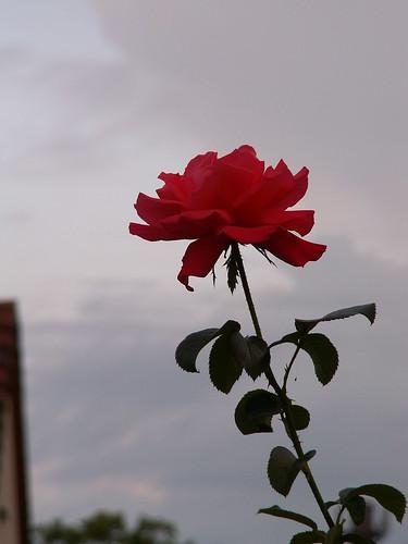 Jahre fliehen Rose Blume 023