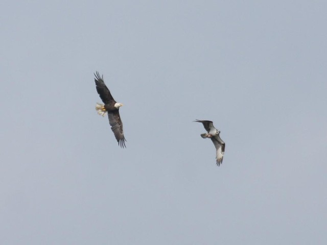 Eagle vs. Osprey Part 4 - Cape May Hawkwatch - Sept 20th, 2008