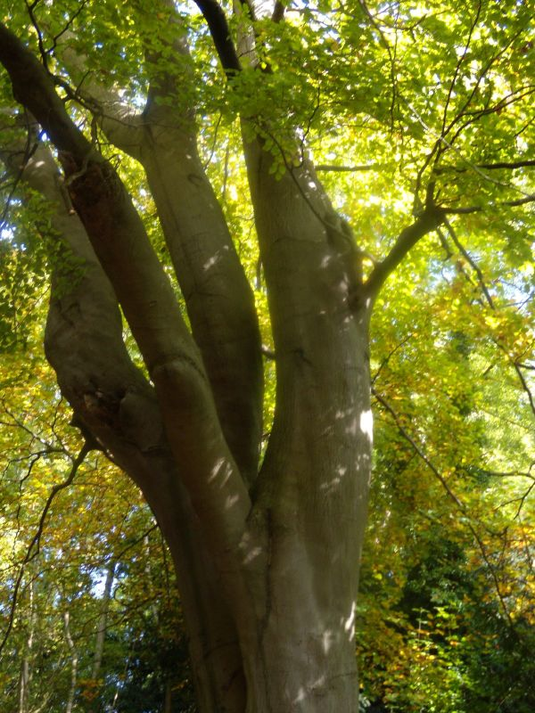 Tree Pangbourne Circular