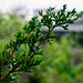 Eastern Red Cedar - Photo (c) Alex Melman, some rights reserved (CC BY-NC-SA)