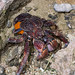 Coconut Crab - Photo (c) Shipher (士緯) Wu (吳), some rights reserved (CC BY-NC-SA)