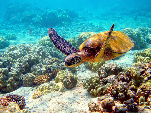 balochistan wildlife:  GREEN -TURTLE