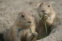 animal, squirrel, rodent, prairie dog, fauna, marmot, whiskers, gerbil, wildlife,