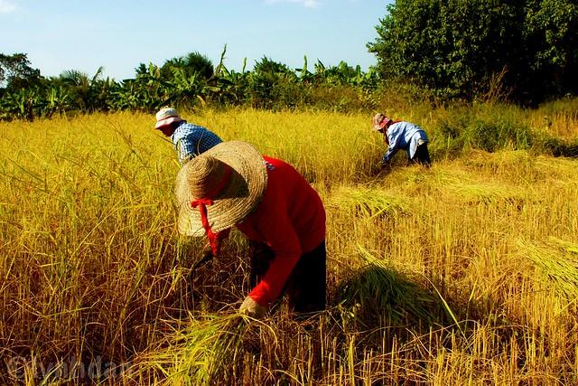 Harvest Thailand by lynhdan, on Flickr