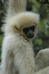 macaque(0.0), ape(0.0), gibbon(1.0), animal(1.0), monkey(1.0), mammal(1.0), fauna(1.0), old world monkey(1.0), wildlife(1.0),