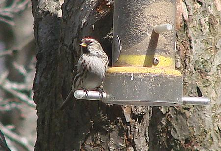 Common Redpoll darkish