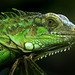 "iguana ""Green Iguana"" by tropicaLiving - Jessy Eykendorp"