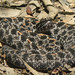 Pygmy Rattlesnake - Photo (c) tom spinker, some rights reserved (CC BY-NC-ND)