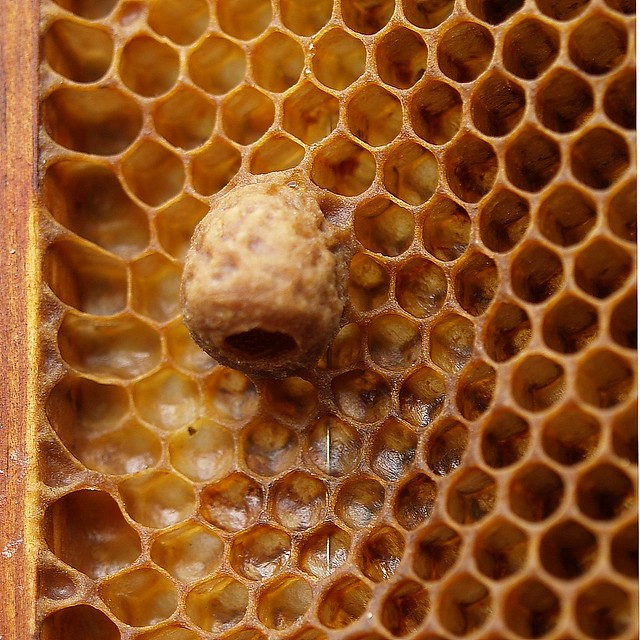 A naturally built queen cell for a honey bee queen ...