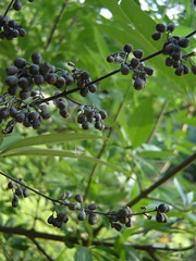 berry, branch, tree, plant, flora, produce, fruit, food,