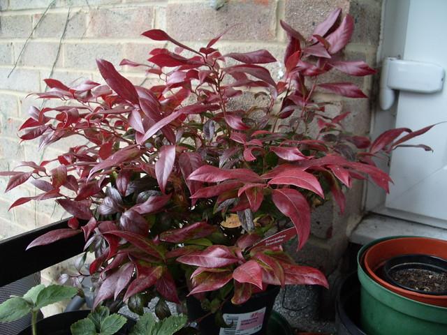 Leucothoe Axillaris Scarletta Leucothoe Scarletta Deep Red