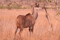 animal, prairie, antelope, mammal, common eland, fauna, kudu, savanna, grassland, safari, wildlife,