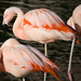 Chilean Flamingo - Photo (c) Nick Chill, some rights reserved (CC BY-NC-ND)