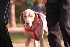 animal(1.0), dog(1.0), pet(1.0), mammal(1.0), weimaraner(1.0), conformation show(1.0),